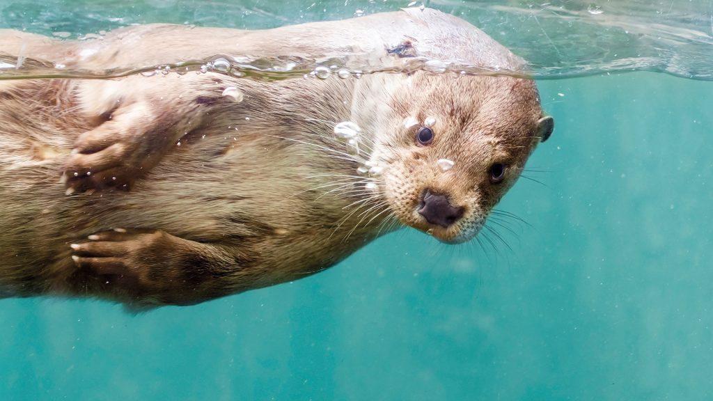 Svømmende odder i vand