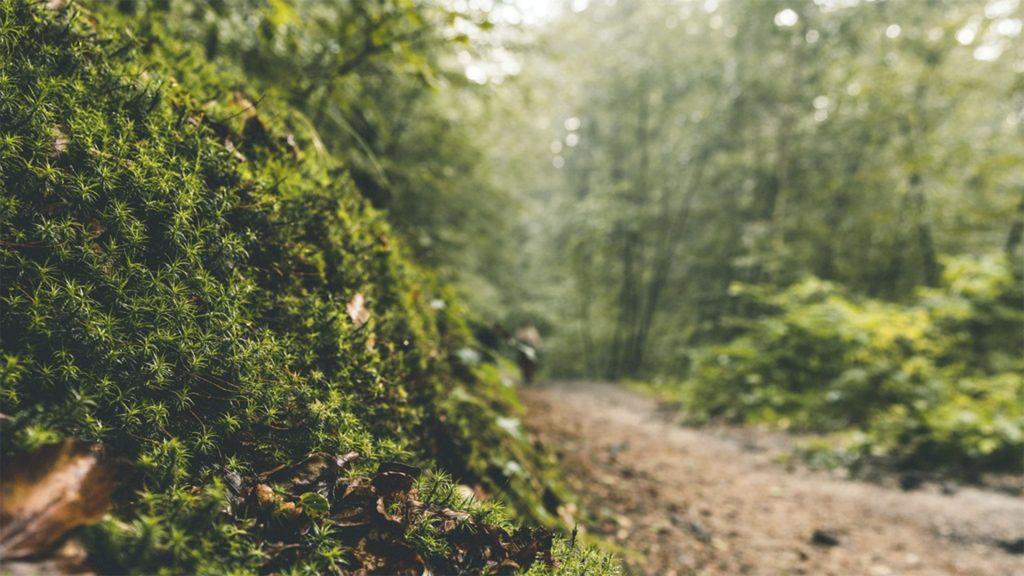 Mos i skovbund med sti i baggrunden