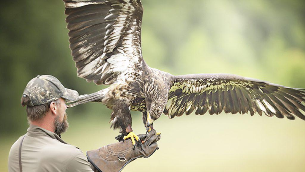Falkoner med stor Bald Eagle på hånden