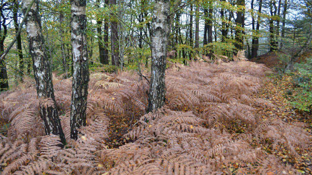 Skovbund dækket af bregner